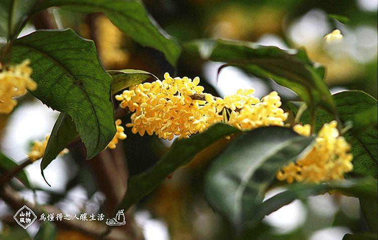 喝一口銷魂桂花釀,才懂得秋天的滋味鳳凰網凰家尚品