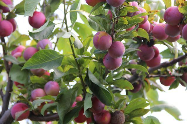 秋季绿色果蔬采摘