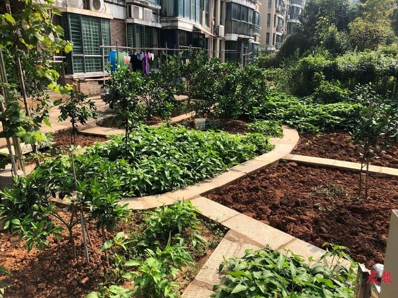 """▲在南昌红谷春天小区22栋1单元,""""私家园林""""内种着多种蔬菜和果树。"""