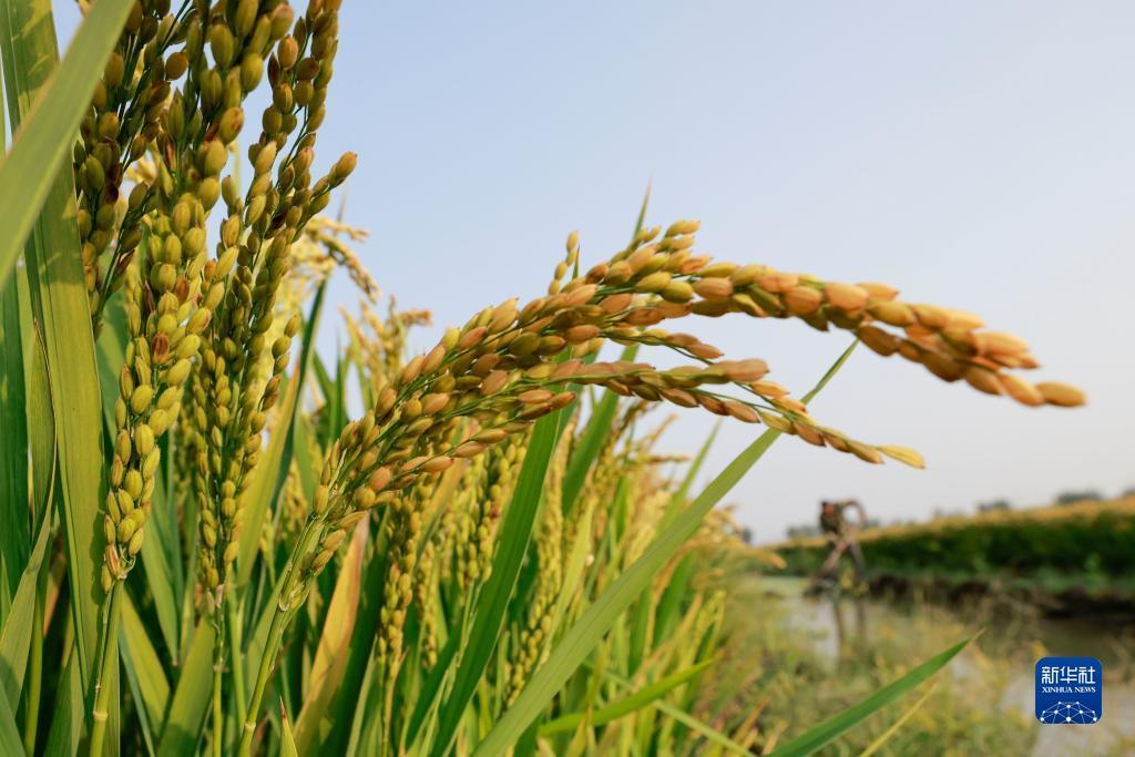 9月13日,唐山市丰南区三沟村的农民在稻田劳作。