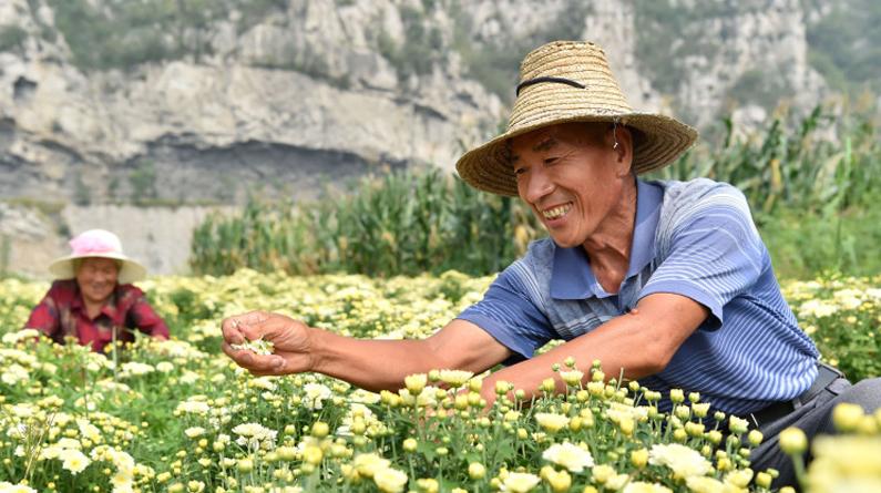 河北井陉:金秋采菊乐农家