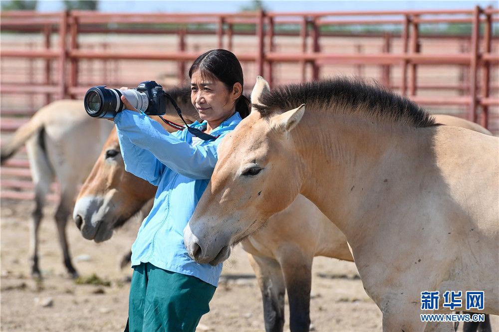 在新疆野马繁殖研究中心,工程师张赫凡拍摄野马照片素材(8月10日摄)。新华社记者 丁磊 摄