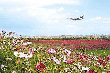 昔日荒滩变花园,临港花海扮靓机场。