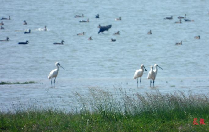 ▲9月11日,今秋以来首批越冬白琵鹭抵达鄱阳湖。