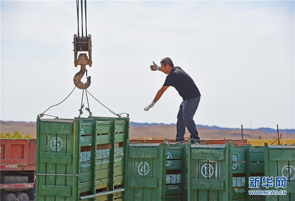 在新疆卡拉麦里山有蹄类野生动物自然保护区乔木西拜野放点,工作人员卸下运马箱(9月1日摄)。新华社记者 侯昭康 摄