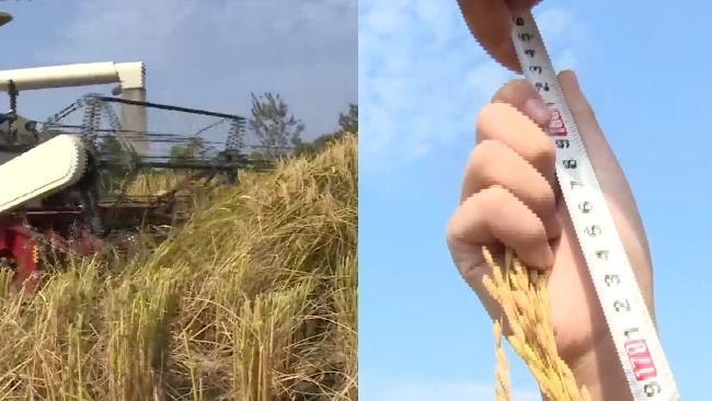 """湖北种出1.8米""""高富帅""""水稻:亩产超1600斤"""