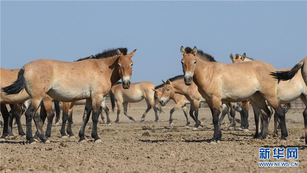 这是8月9日在新疆野马繁殖研究中心拍摄的野马。新华社记者 丁磊 摄
