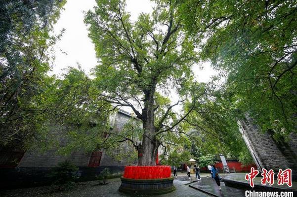 9月7日拍摄的位于襄阳市襄城区广德寺院内古银杏树(资料图) 杨东 摄