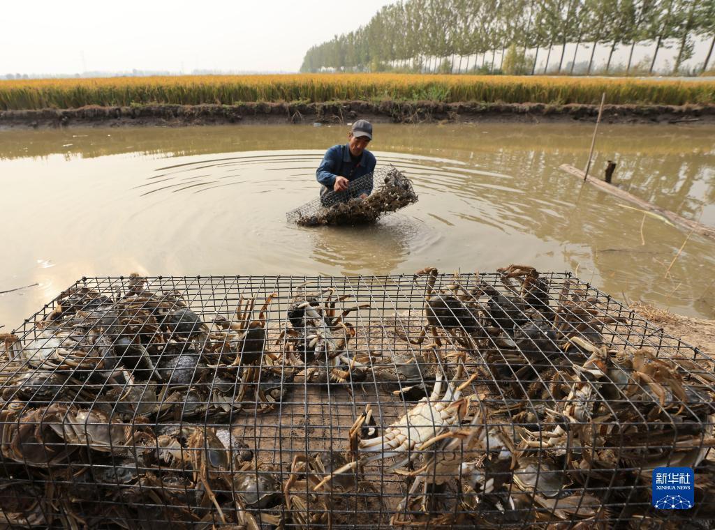 9月13日,唐山市丰南区三沟村的农民在稻田内收获河蟹。