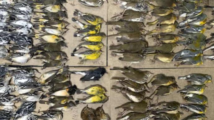 数百只候鸟迷失方向撞上纽约高楼