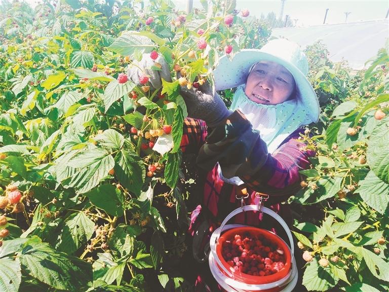 今年是史红梅在尚志浆果科技栽培示范中心采摘红树莓的第六个年头。