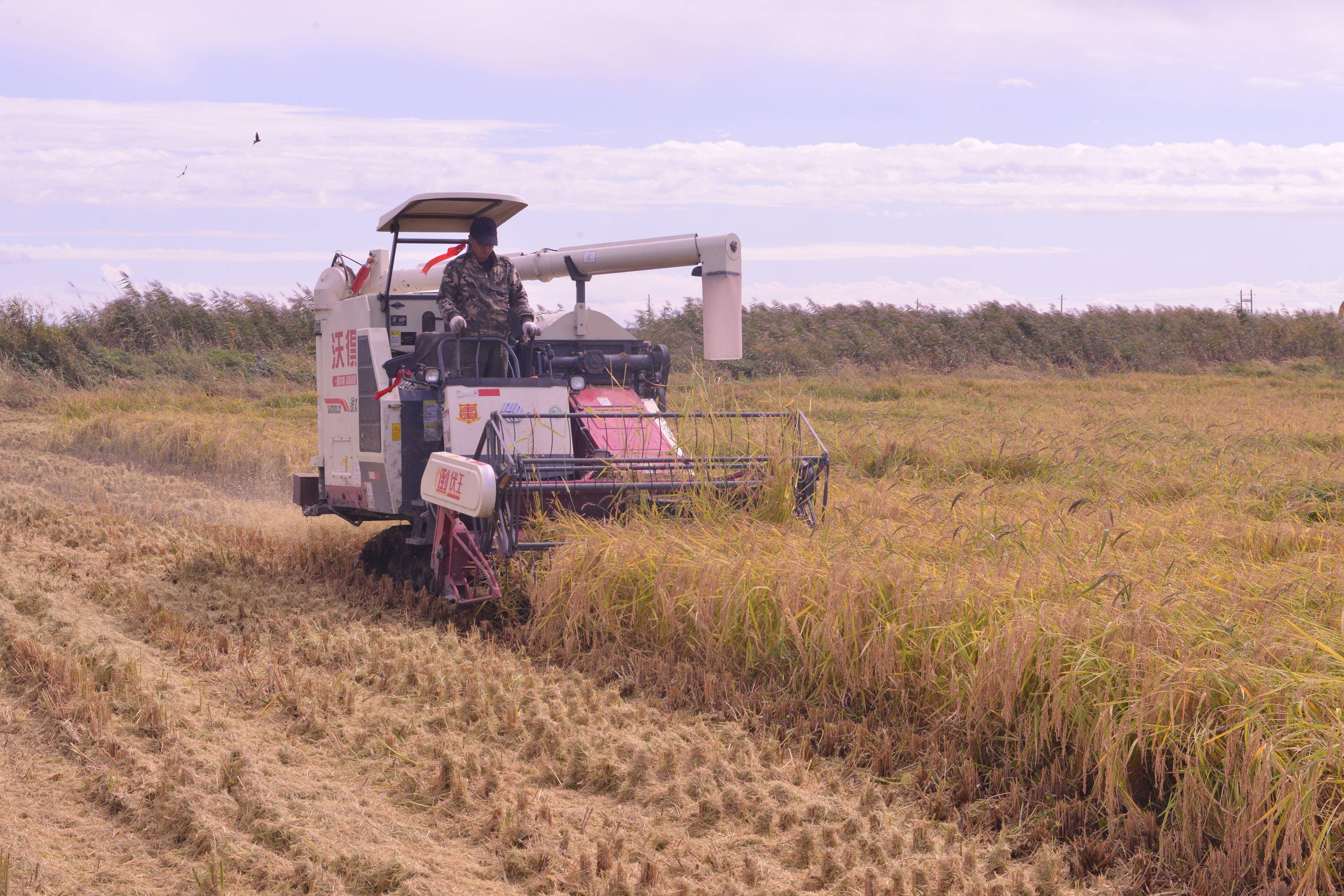 水稻收割现场