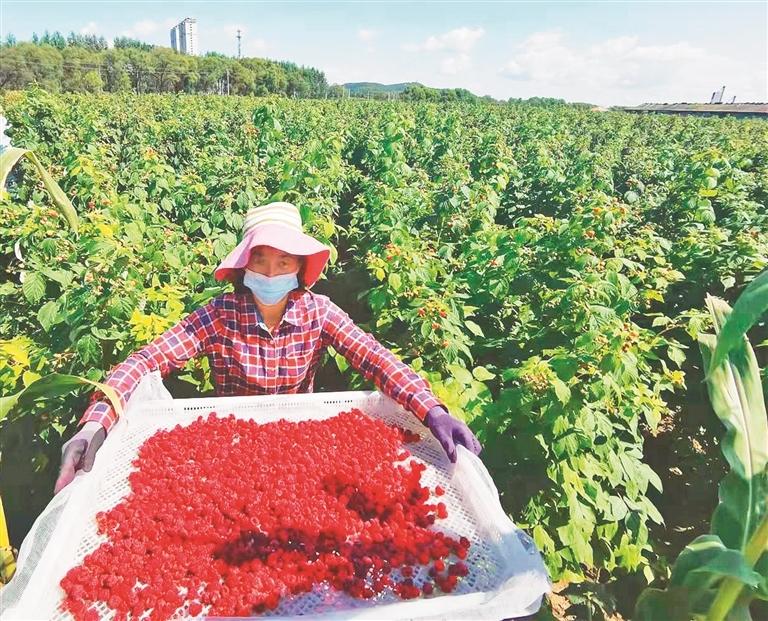 刚刚采摘的红树莓果。