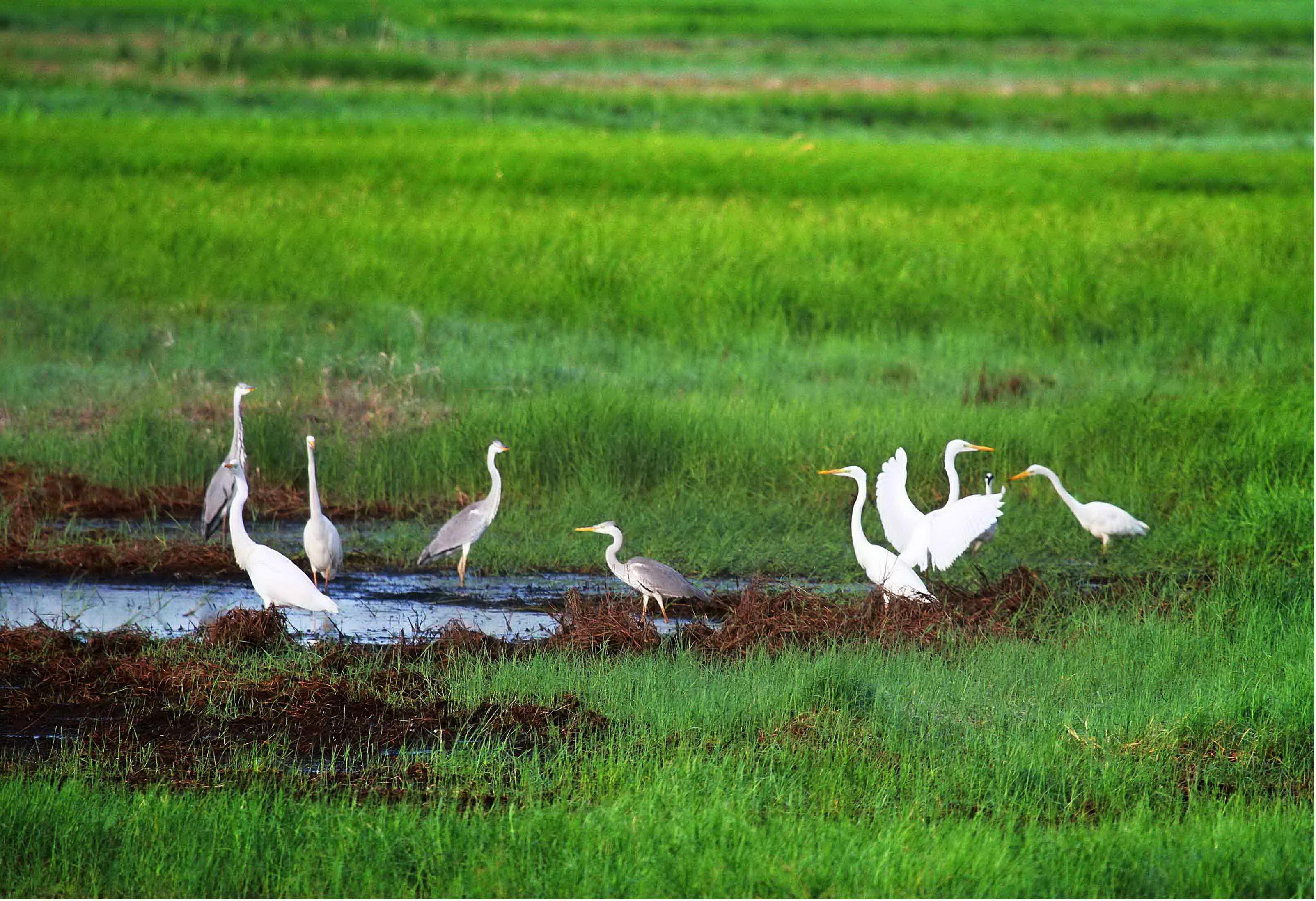 七星河湿地水草肥美吸引大量野生鸟类来此栖息