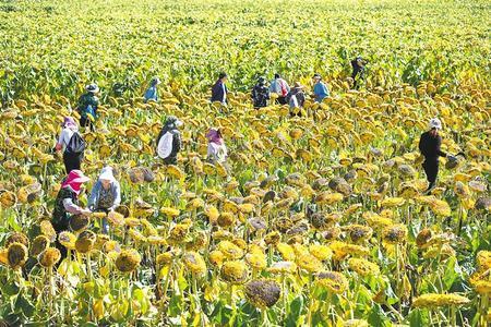 向日葵开镰采收,金灿灿的田野里果实累累。