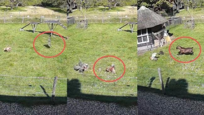 老鹰偷袭农场被动物合伙击退