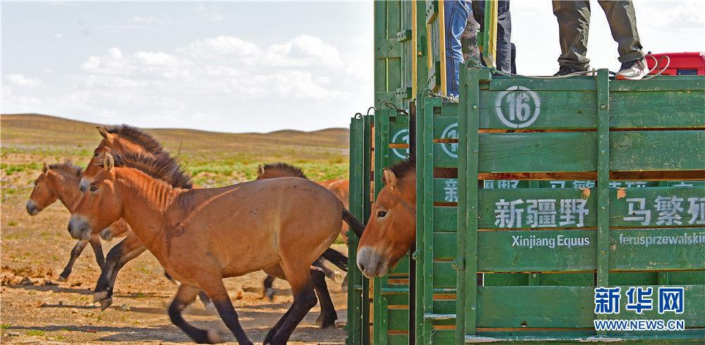 在新疆卡拉麦里山有蹄类野生动物自然保护区乔木西拜野放点,工作人员将即将野放的野马放入大围栏,使其适应野外环境(9月1日摄)。新华社记者 侯昭康 摄