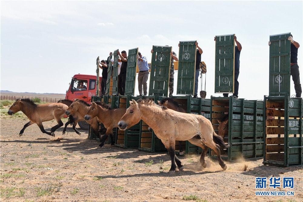 在新疆卡拉麦里山有蹄类野生动物自然保护区乔木西拜野放点,工作人员将即将野放的野马放入大围栏,使其适应野外环境(9月1日摄)。新华社记者 丁磊 摄