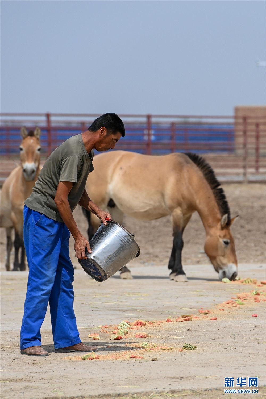 在新疆野马繁殖研究中心,饲养员投喂西瓜,为野马防暑降温(8月10日摄)。新华社记者 丁磊 摄