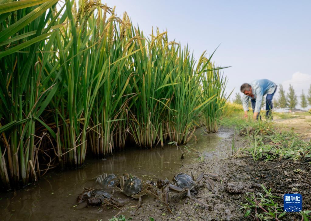 9月13日,唐山市丰南区三沟村的农民在稻田捕捉河蟹。