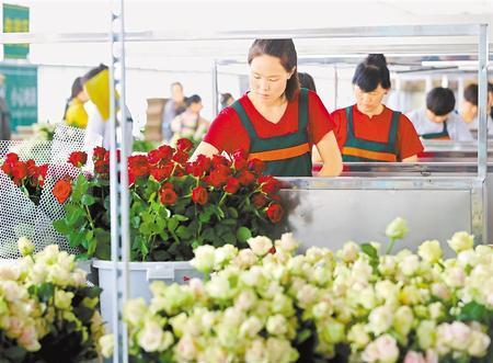 兰州新区农投集团花卉产业基地鲜切玫瑰走俏市场