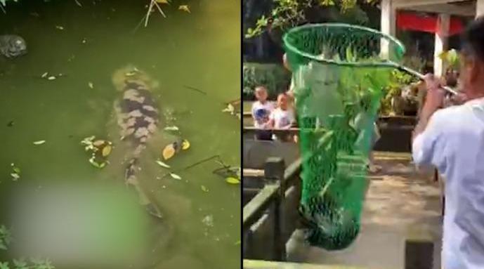 成都老小区水池现1.2米长娃娃鱼 已被动物园收编