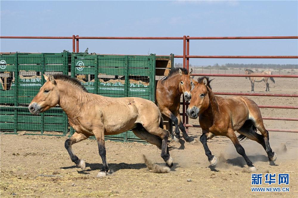 在新疆野马繁殖研究中心,即将放归野外的野马进行适应运马箱训练(8月9日摄)。新华社记者 丁磊 摄