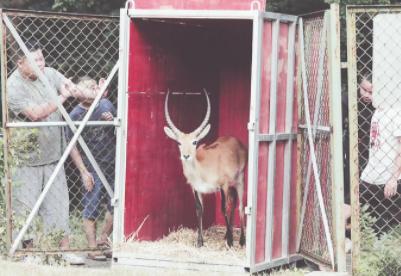 动物园来的新朋友列氏水羚。