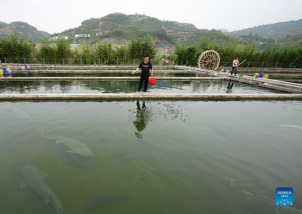 9月16日,河北省邢台市信都区路罗镇茶旧沟村冷水鱼养殖场的工作人员正在投喂饲料。