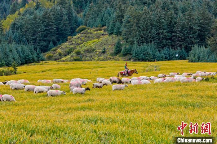图为羊群悠闲漫步。 王将 摄