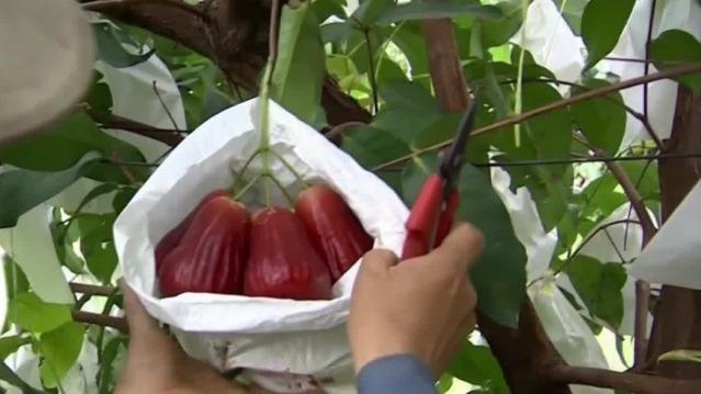 台农委会将就水果遭禁向WTO提起诉讼 台专家道出真相