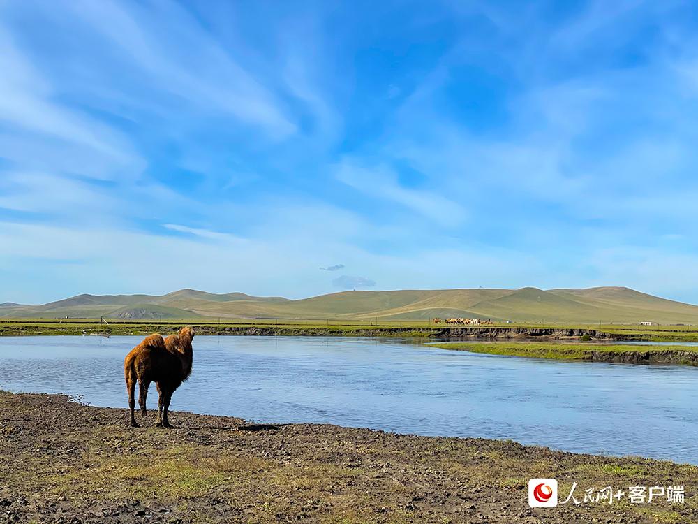 莫日格勒河河畔的骆驼。人民网记者董丝雨 摄