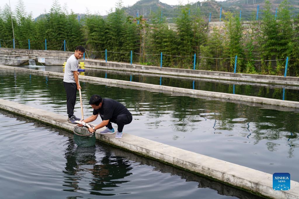 9月16日,河北省邢台市信都区路罗镇茶旧沟村冷水鱼养殖场的工作人员在查看鲟鱼长势。