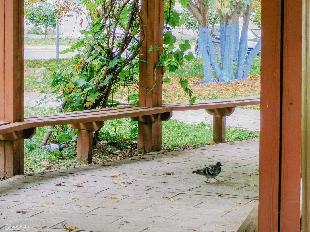 山葡萄 推荐拍照地:外国留学生公寓前
