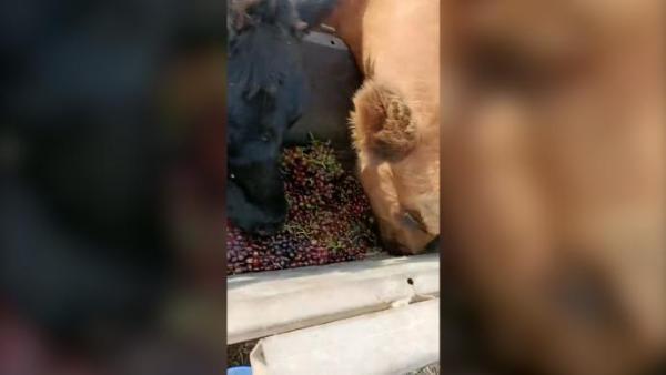 数吨葡萄喂牛遭质疑浪费,当事人:品相不好不运出