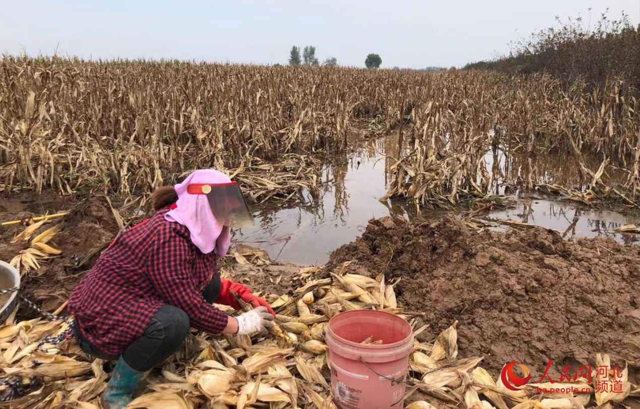 农民在田间抢收玉米。 人民网 林福盛摄