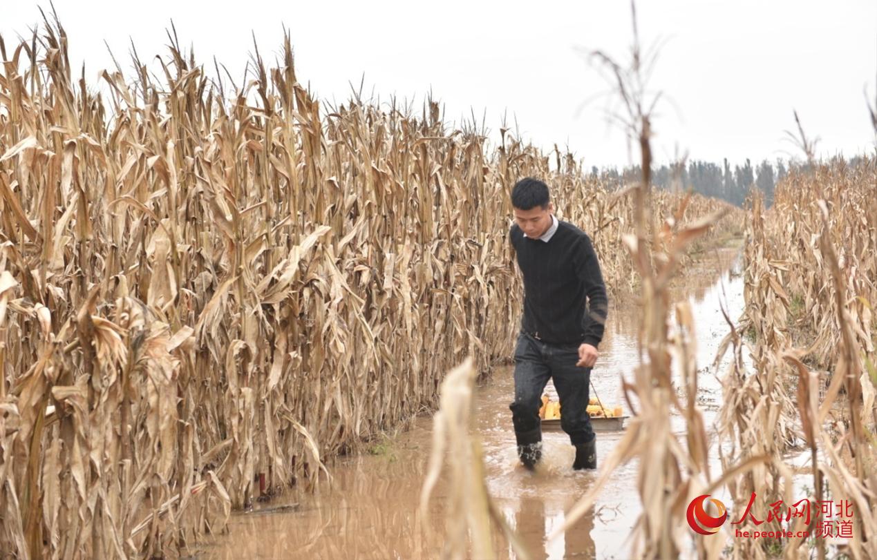农民在田间抢收玉米。 人民网 朱鹏涛摄