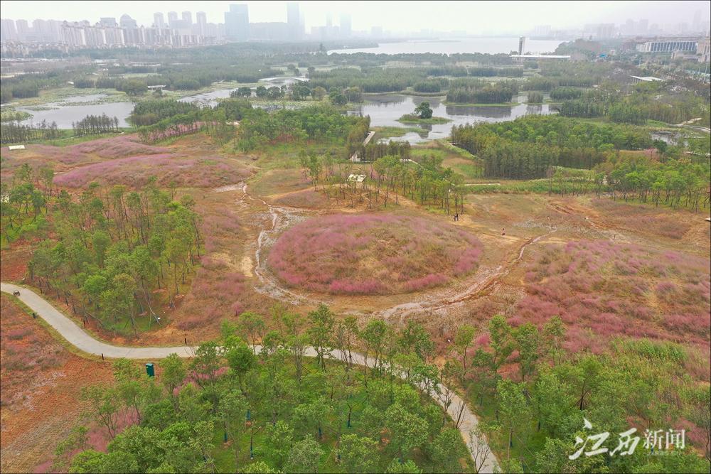 南昌:鱼尾洲湿地公园的粉红世界