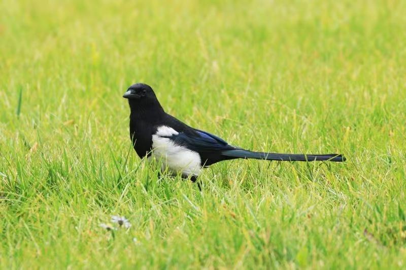 青藏喜鹊,在双翅不打开,看到腰部的情况下,很难跟华东的喜鹊相区分。