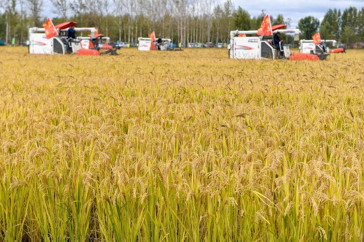 9月23日,在吉林省长春市九台区龙嘉街道红光村,农民驾驶农机进行水稻收割集中作业展示。新华社记者 张楠 摄