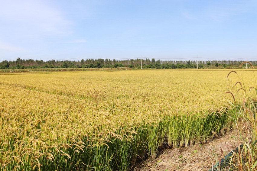 """沈阳市沈北新区:""""虾稻共作""""模式 实现生态和经济效益""""双丰收"""""""