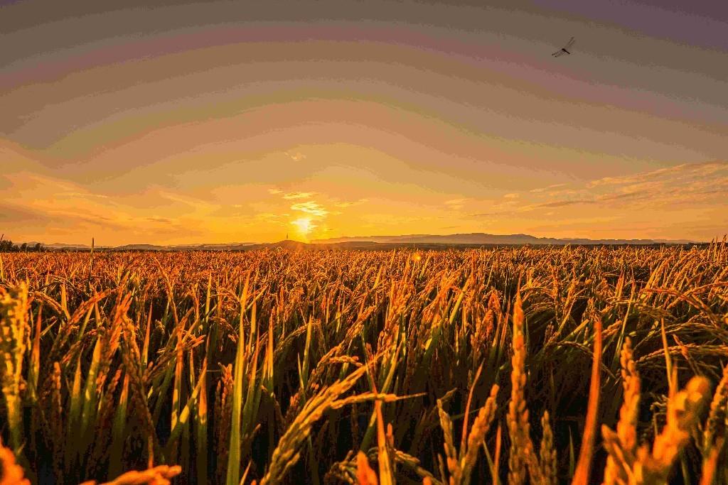 夕阳下金黄的稻田