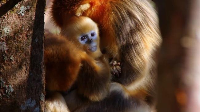 湖北神农架上千只金丝猴跳跃嬉戏:展现大山精灵的可爱