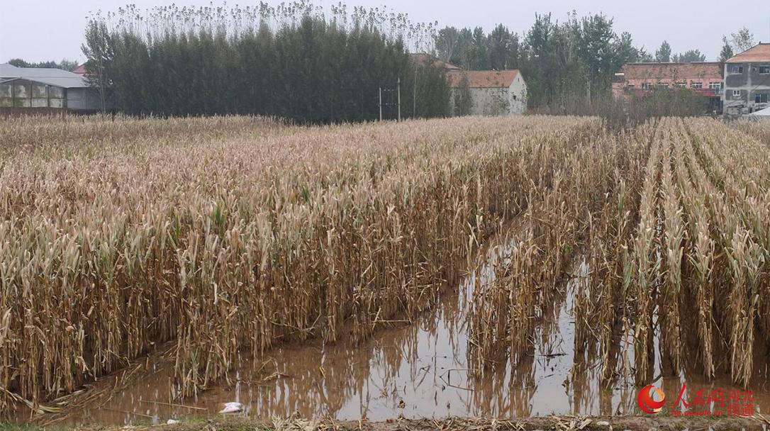 河北省大名县因降雨造成农田被淹。 人民网 杨文娟摄