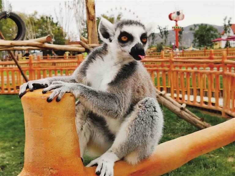 马达加斯加的狐猴 吕晟君 摄