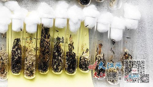 用于防治天牛的管氏肿腿蜂
