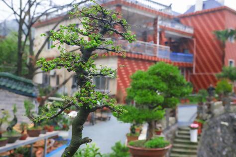 高枧村盆栽精致美丽