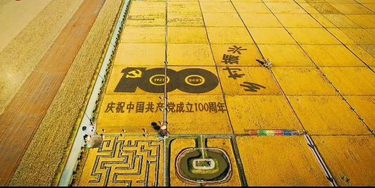 """""""丰""""景正好,满地尽是""""黄金甲""""!爱辉区4200亩水稻喜迎丰收"""