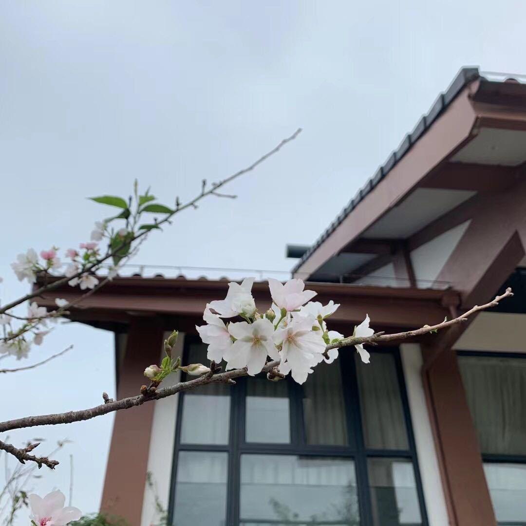 网友晒在朋友圈的樱花开放图。
