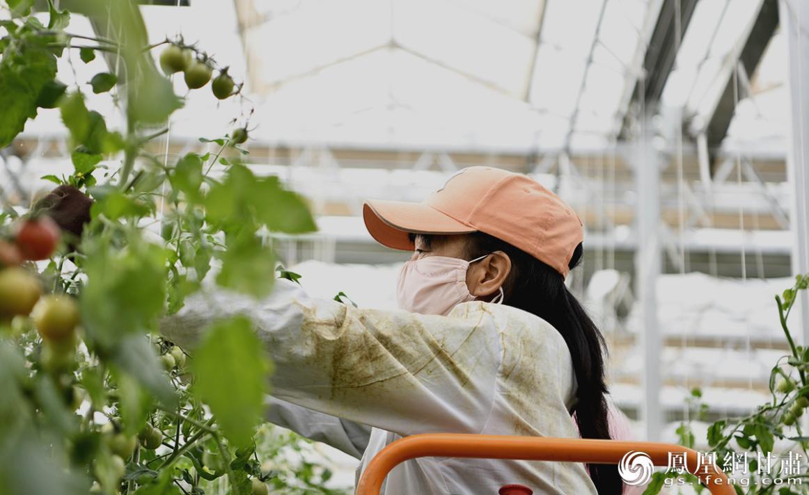 """当日,园区内职工为""""疯狂生长""""的西红柿修剪藤蔓。李果繁 摄"""